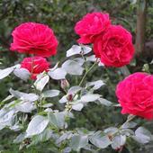 Róża pnąca - Sympathie - lekki zapach  ( W.Kordes' Sóhne  1964 rok)