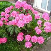 Różanecznik - Rododendron