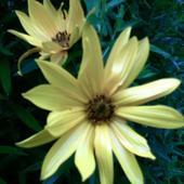 słoneczne kwiatuszki !