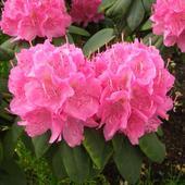 W zbliżeniu Rododendron