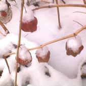 zimowa miechunka
