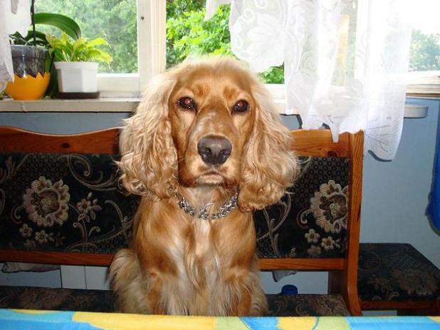 pieseczek mojej bratowej, Rufi - w oczekiwaniu na obiad
