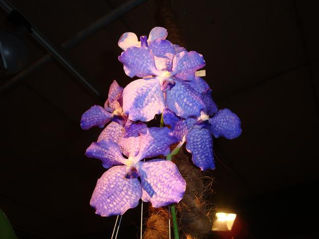 Storczyk - Vanda