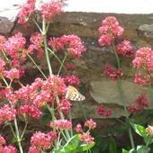 Centranthus ruber - ostrogowiec czerwony