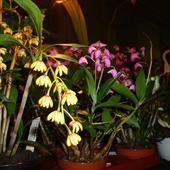 Dendrobium Gracilica