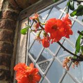 Kwiat pigwowca w Sissinghurst