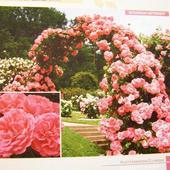 Piękna róża .........Rosarium Uetersen