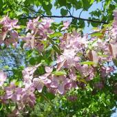 Rajska jabłoń kwitnaca wiosną urokliwie...
