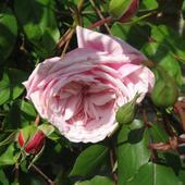 Róża  bardziej szlachetna od tamtej