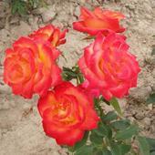 Róża ...Alinka