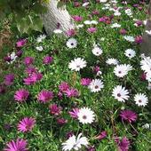 Osteospermum w słońcu