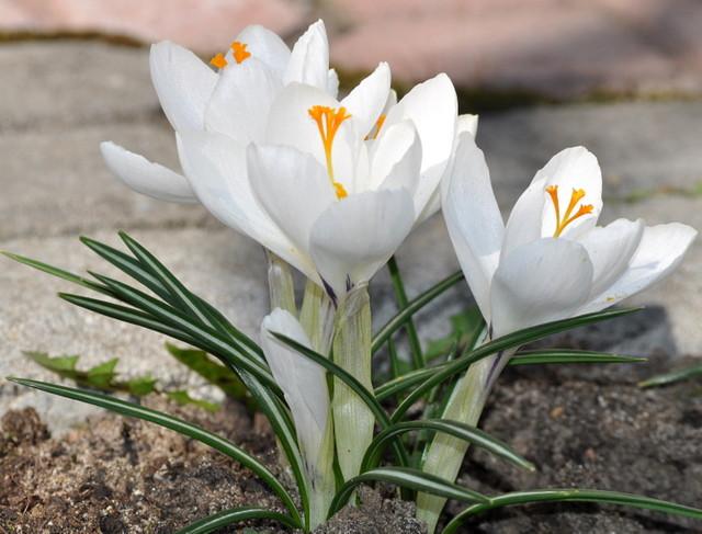 Moje pierwsze kwiaty w ogrodzie-krokusy