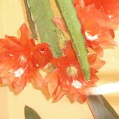 Kaktus Epifilum 02.2