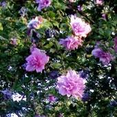 drzewo hibiscusa