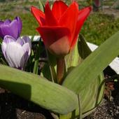 Mini tulipanek