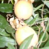 Owoce Pasiflory