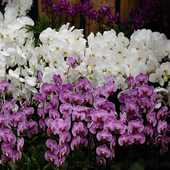 Taiwan.Orchidee schow