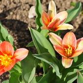 Zakwitly moje tulipanki miniaturki