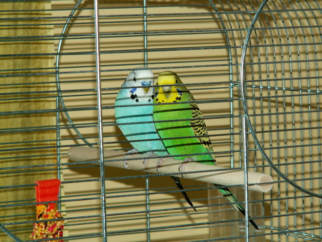 moje papugi Jacek i Agatka.