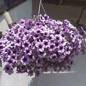 Piękne kwiaty w donicach.