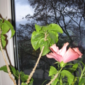 Róża wieczorem
