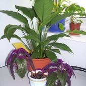 Skrzydłokwiat, ginura, peperomia i kawałek synedanium