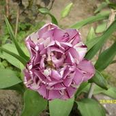 tulipanek