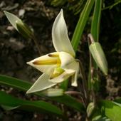 zakwitł mój pierwszy tulipanek ........