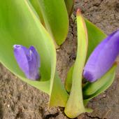 zaraz zakwitną moje pierwsze tulipanki