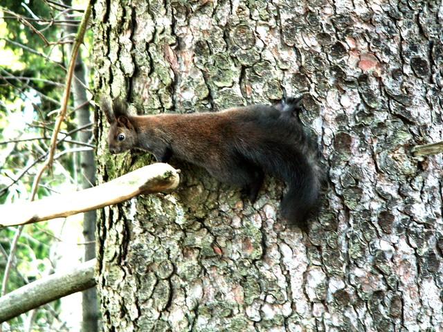 Wiewiórka  czarna kitka.