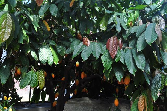 Drzewo Kakaowca