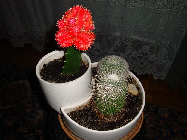 Kaktusiki