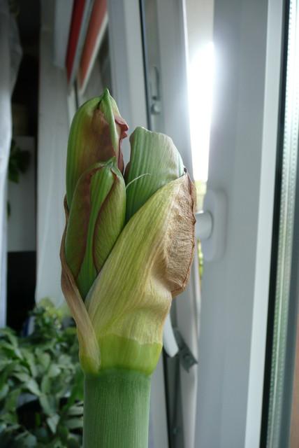 Kolejny amarylis rozkwicie