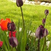 c d tulipany