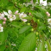 Jabłoń z czereśnią