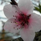 Kwiat brzoskwini
