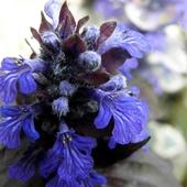 kwiat dąbrówki rozłogowej