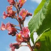 Kwiat kasztana