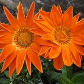 Kwiaty, które kochają słońce- Gazania:)