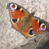 Motyl - rusałka pawik