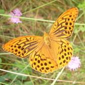 Nie znany mi cudny motyl