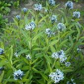 Niebieskie gwiazdki amsonii