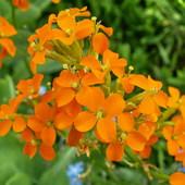 Pomarańczowe kwiatuszki.