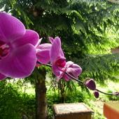 Storczyk-Orchidea-Orchideaceae