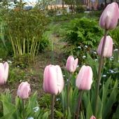 tulipanki na ciemnej nóżce