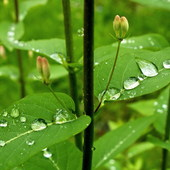 SUCHODRZEW ...w kroplach deszczu