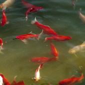 Złote rybki w oczku wodnym