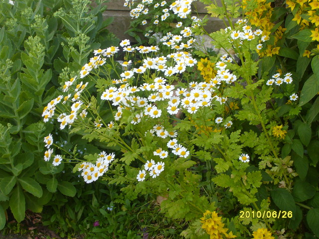 Kwiatuszki Podobne Do Rumianku Ale Nie Rumianek