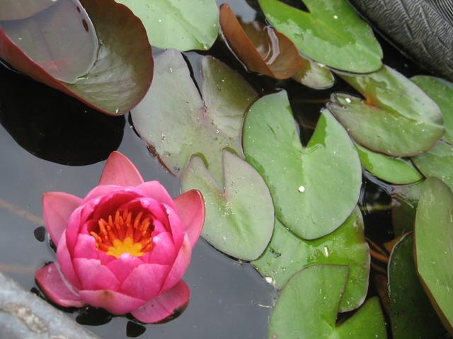oczko wodne z lilią