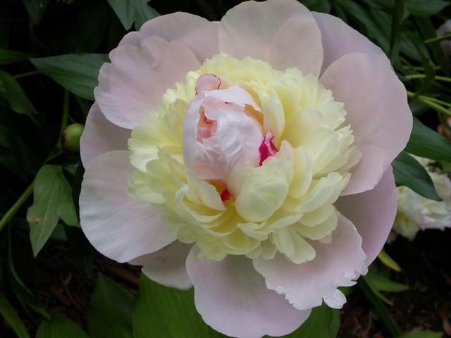 Pięknie kwitnie i pachnie